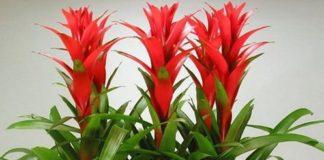 Фото цветов Гузмании