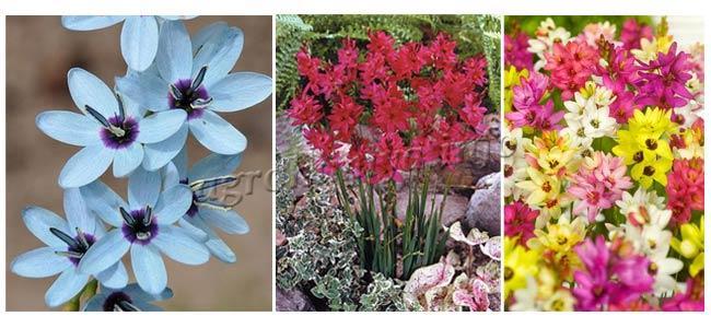 Фото цветов Иксии