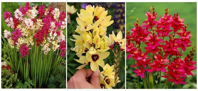 Цветы Иксии