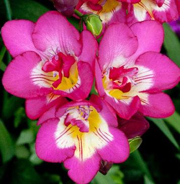 Фото цветов Фрезии