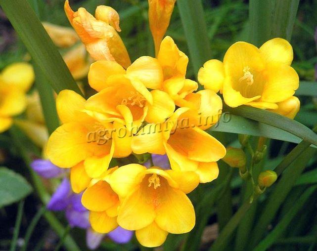 Фото желтых цветов Фрезии