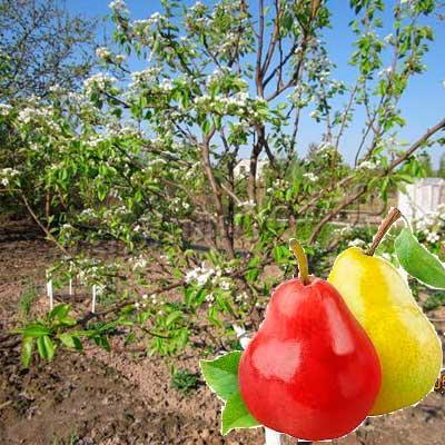 Как правильно привить грушу