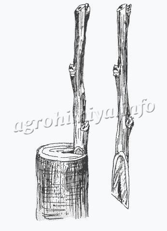 Схема прививки груши в полурасщеп