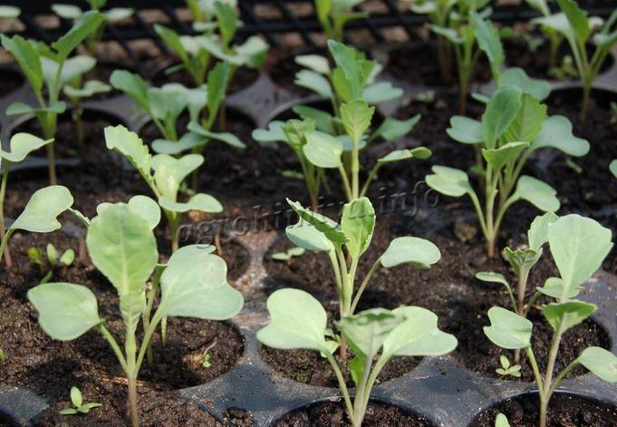 Фото рассады капусты