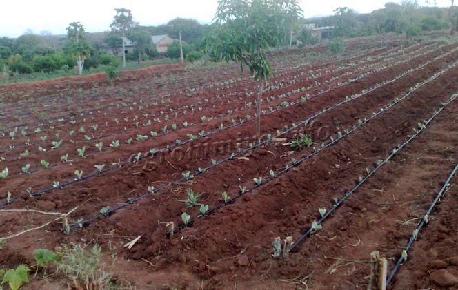 Капельный полив рассады капусты