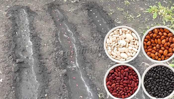 Фото посадки фасоли в октытый грунт
