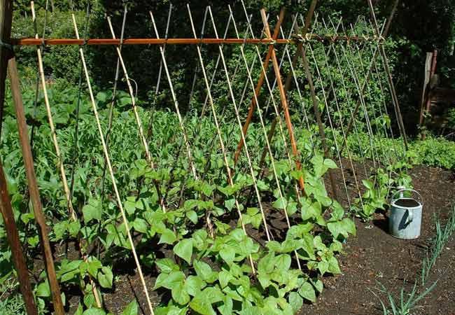 Фото выращивания фасоли на жердях