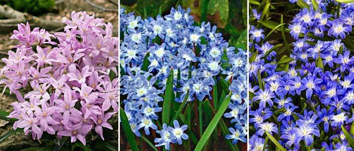 Фото разноцветных цветов Хионодокса