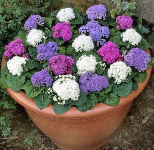 Фото цветы Агератум