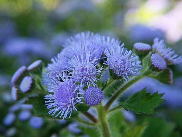 Фото первых цветов Агератума