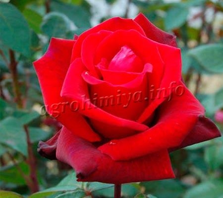 Фото садовая роза