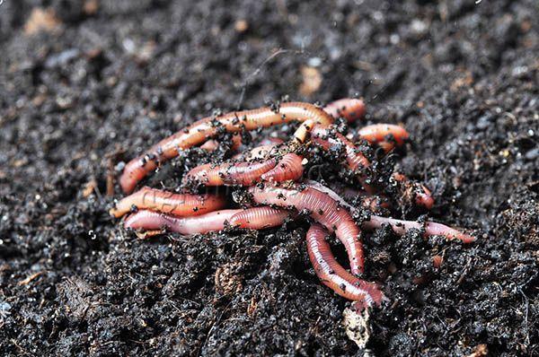 Биогумас по сути является продуктом жизнедеятельности червей