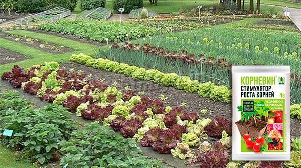 Корневин обеспечит вам богатый урожай