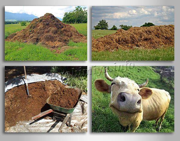 Коровий навоз самый популярный, недорогой и доступный