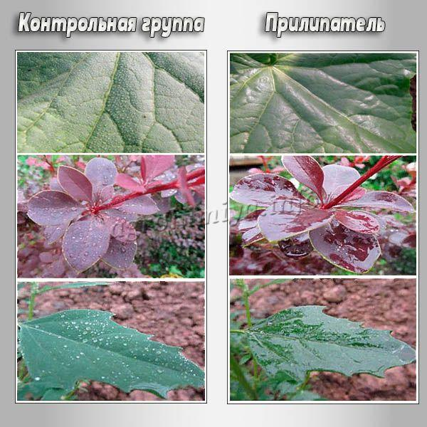 Прилипатель обеспечивает закрепление на листочках растений защитных веществ