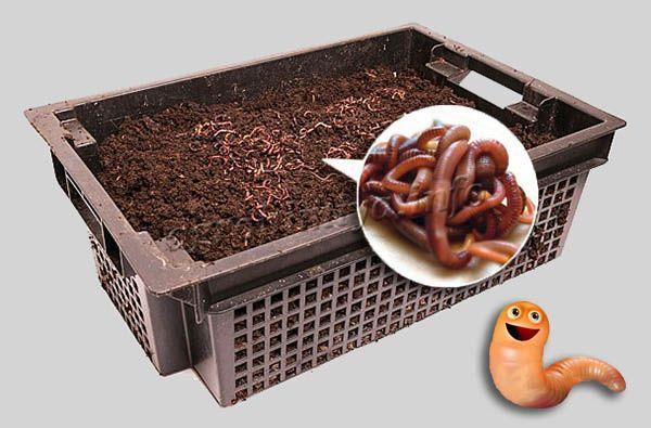 Разведение калифорнийских червей в домашних условиях