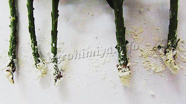 Сухим порошком обычно «опудривают» корни перед посадкой