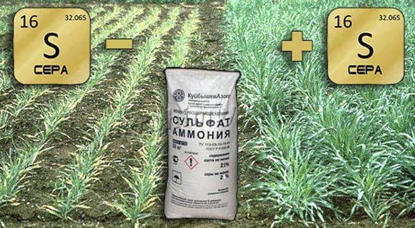 Сульфат аммония обеспечит богатый урожай