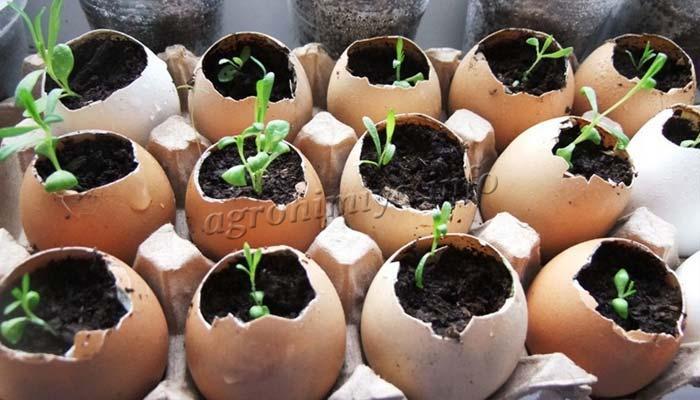 Выращивание рассады в скорлупе