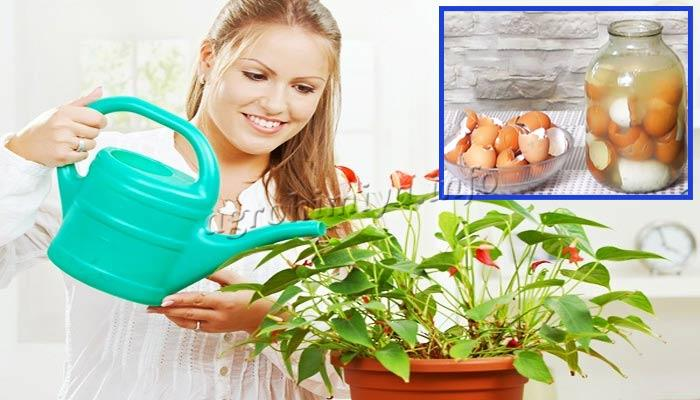 Полив комнатных цветов настоем из скорлупы яиц