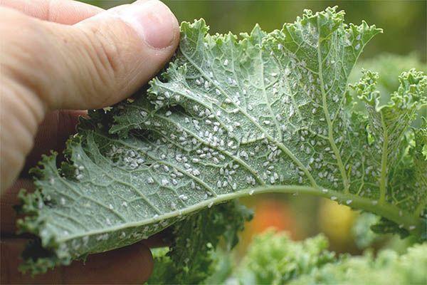 Фото колонии тли на листе