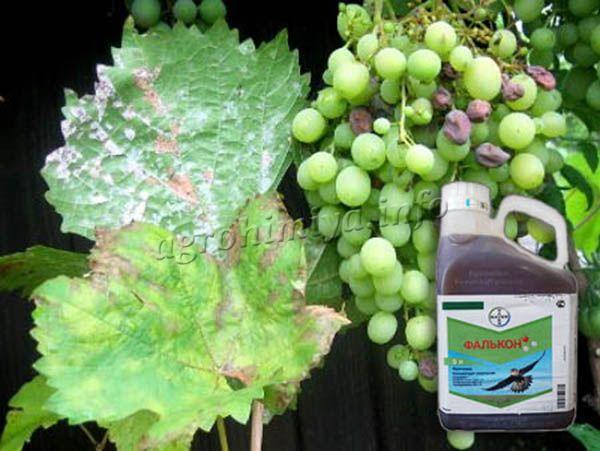 Фунгицид Фалькон используется от Оидиума винограда