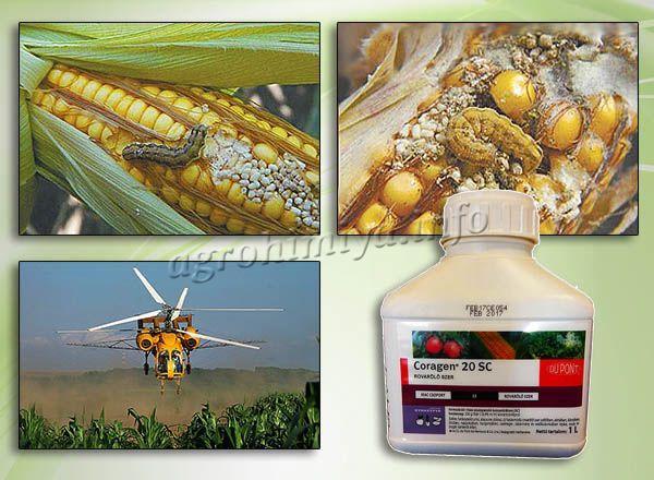 Кораген активно защищает посевы кукурузы