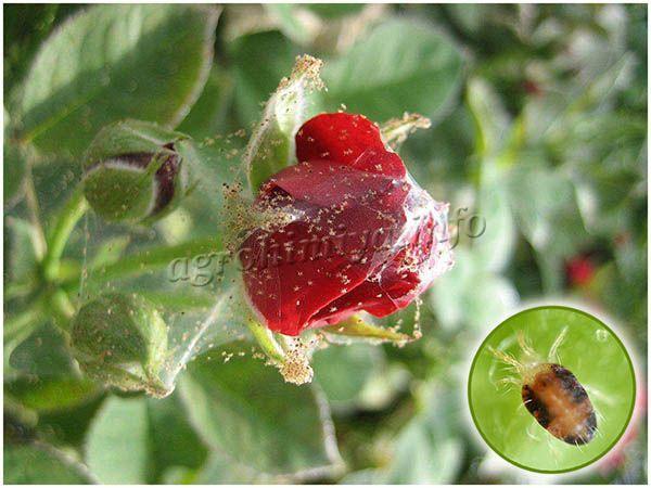 Паутинный клещ часто появляется на розах