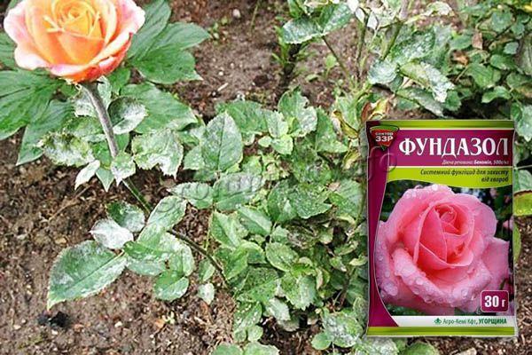 Применение фунгицида Фундазол от мучнистой росы на розе