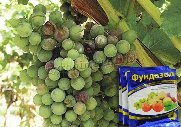 Применение фунгицида Фундазол от оидиума винограда