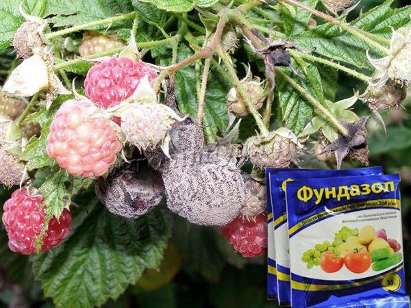 Применение фунгицида Фундазол от серой гнили на малине