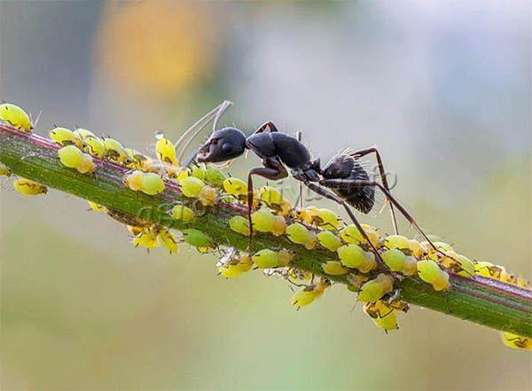 Тля живет в симбиозе с муравьями