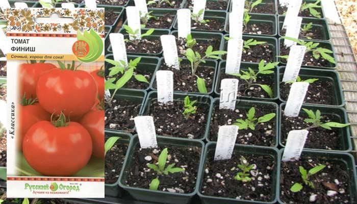 Фото рассады томатов сорт Финиш