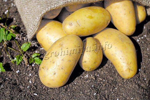 Если удобрения вносились правильно, клубни растут крупными, ровными, улучшается и вкус корнеплодов
