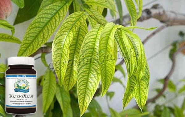 Фото Хлороза растений