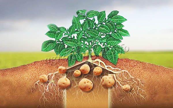 По мере роста картофеля необходимо использовать корневые и внекорневые подкормки