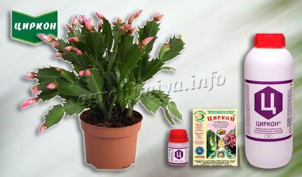 Циркон рекомендуется также и для комнатных цветов