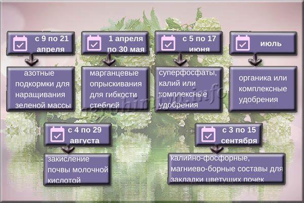Ориентировочные даты внесения удобрений для гортензий