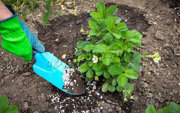 Перед завязыванием плодов стоит вносить удобрения с обилием калия