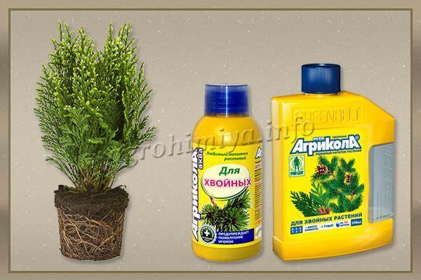 Агрикола – известный стимулятор роста, на внесение которого туя быстро отзывается