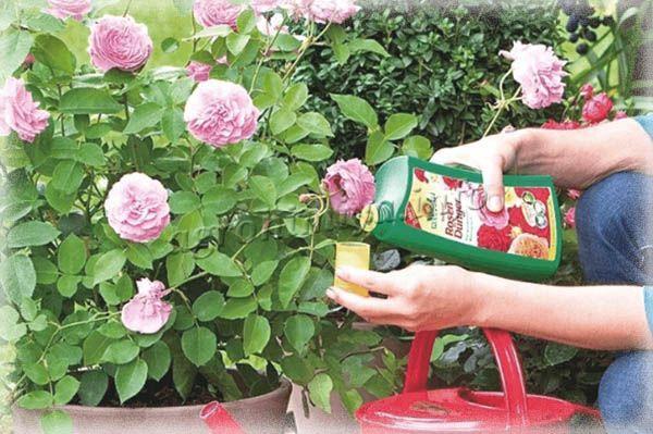 Без удобрений роза может прожить, но она будет давать мало бутонов или вообще не зацветет
