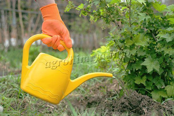 Для красной и белой смородины за сезон проводят не менее 1 опрыскивания и 1 полива органическими или минеральными составами