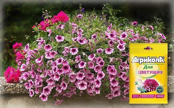 Для обильного цветения петуний в открытом грунте лучше всего использовать удобрение «Агрикола»