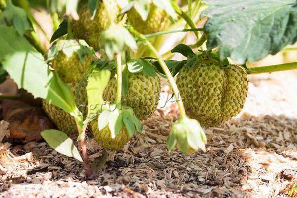 Для повышения урожайности клубники, земляники и малины также используются опилки