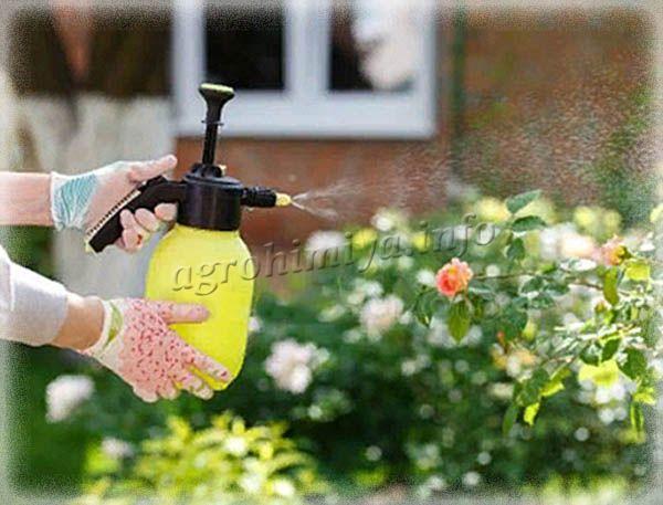 Днем поливать розу по листьям нельзя, иначе на них появятся ожоги