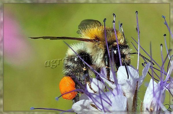 Фацелии является хорошим медоносом, с гектара посевов пчелы собирают около 250 кг меда