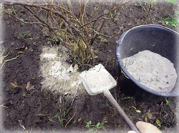 Из органических удобрений для смородины очень полезна древесная зола