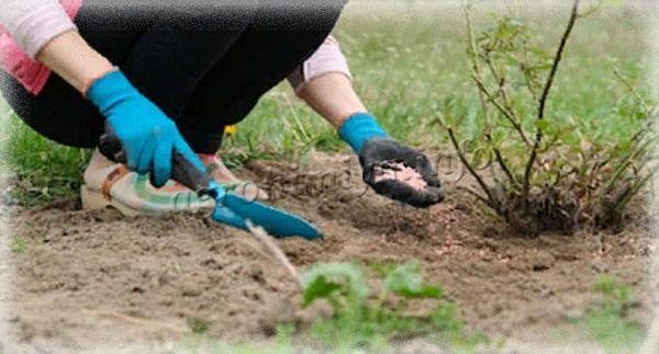 Корневая подкормка проводится весной, летом и осенью