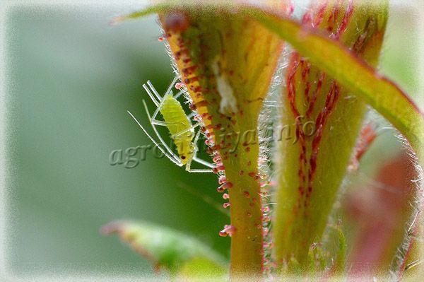 На розах селится, как правило, розанная зеленая тля