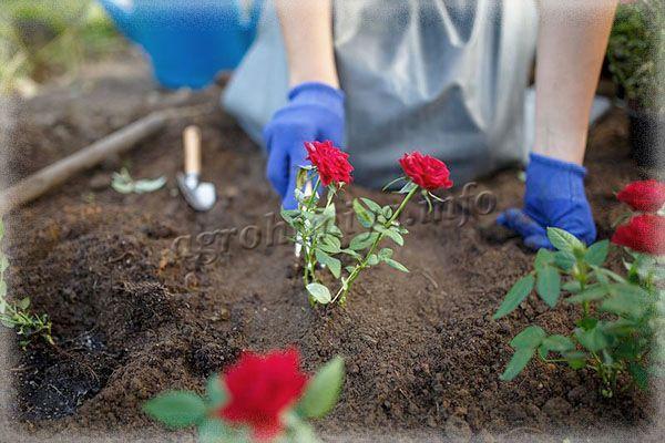 Обычно удобрения вносят сразу в посадочную яму